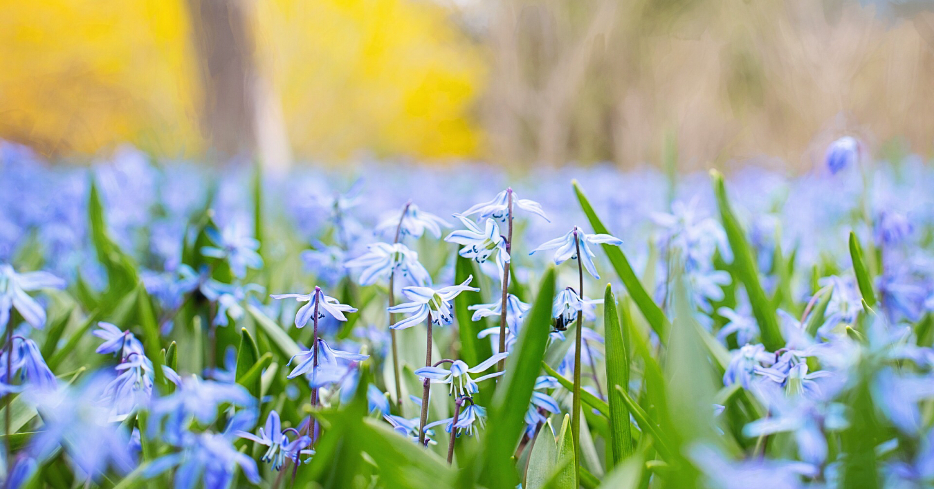 A field of blue flowers