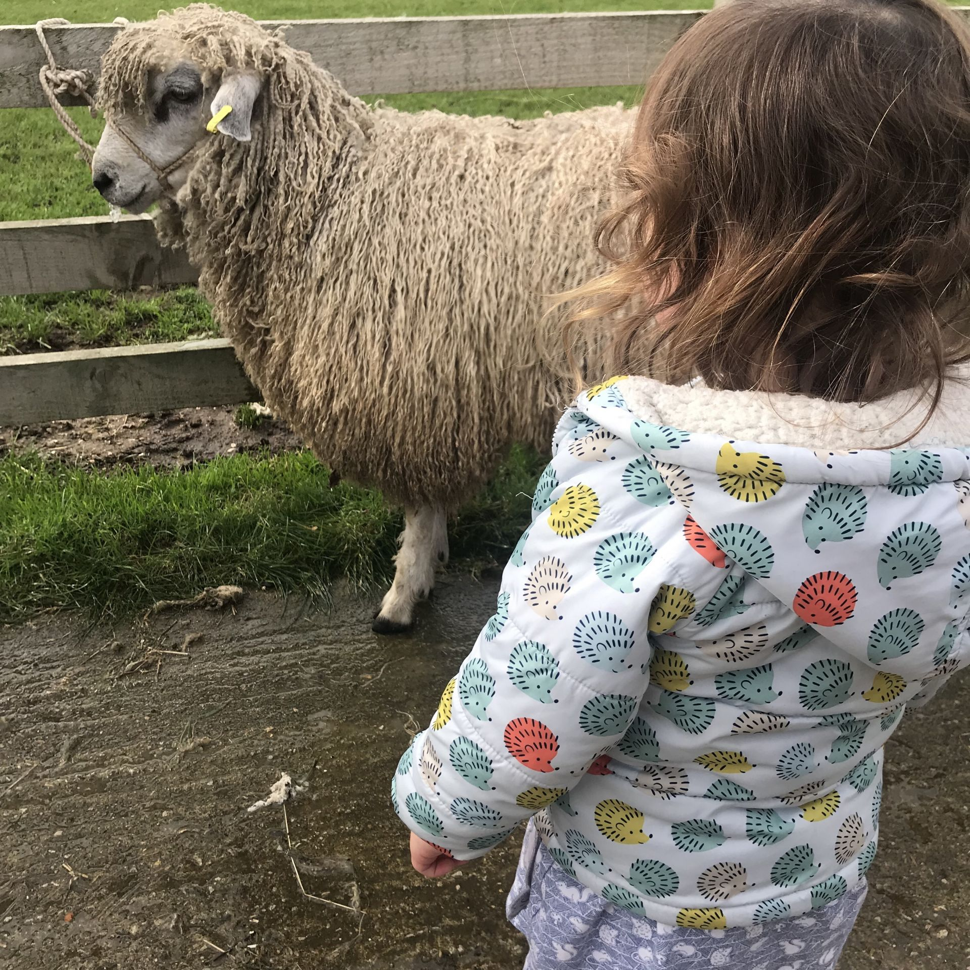 Little girl looking at a sheep
