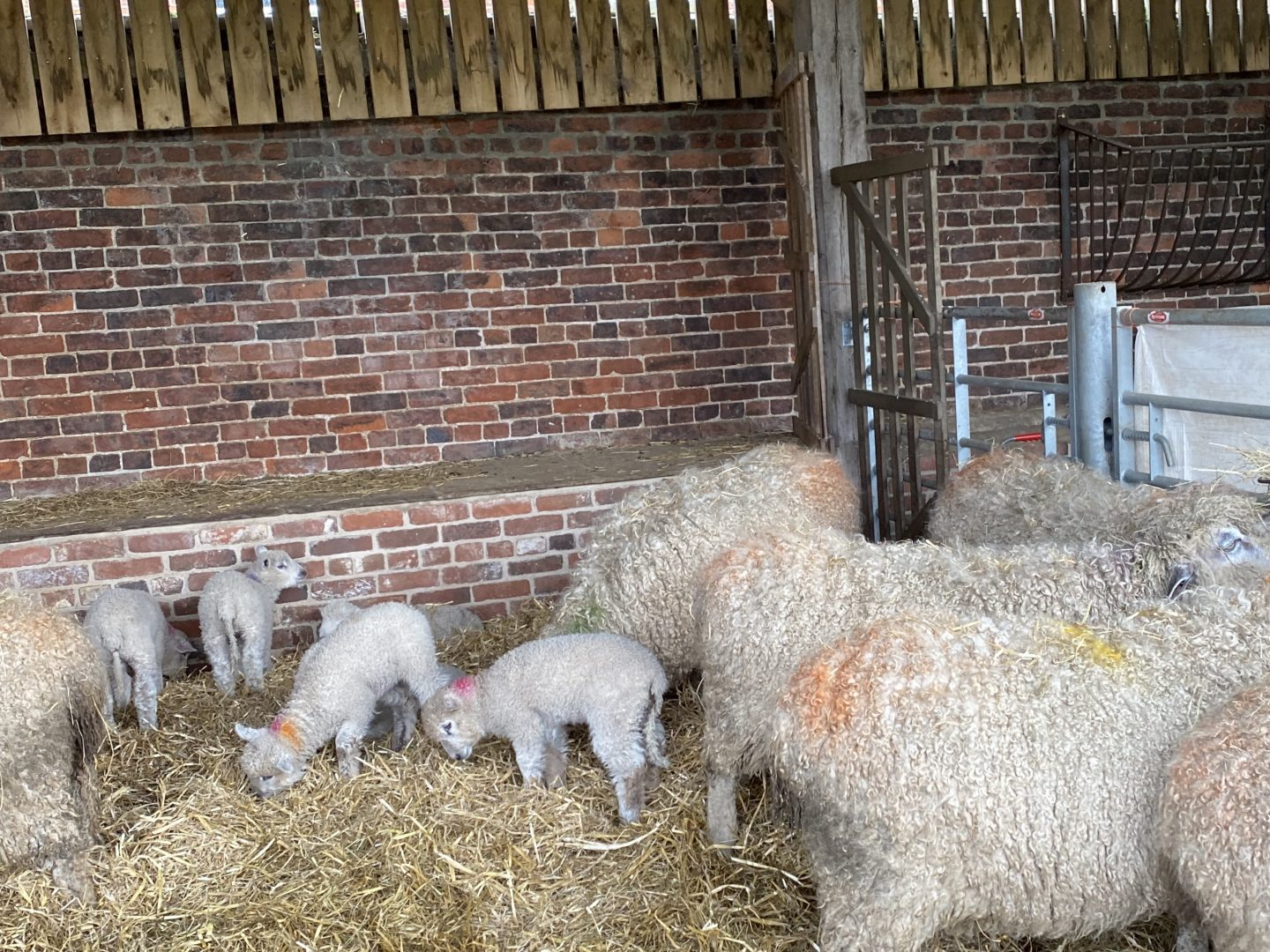 February half term in Yorkshire with baby lambs in a shed
