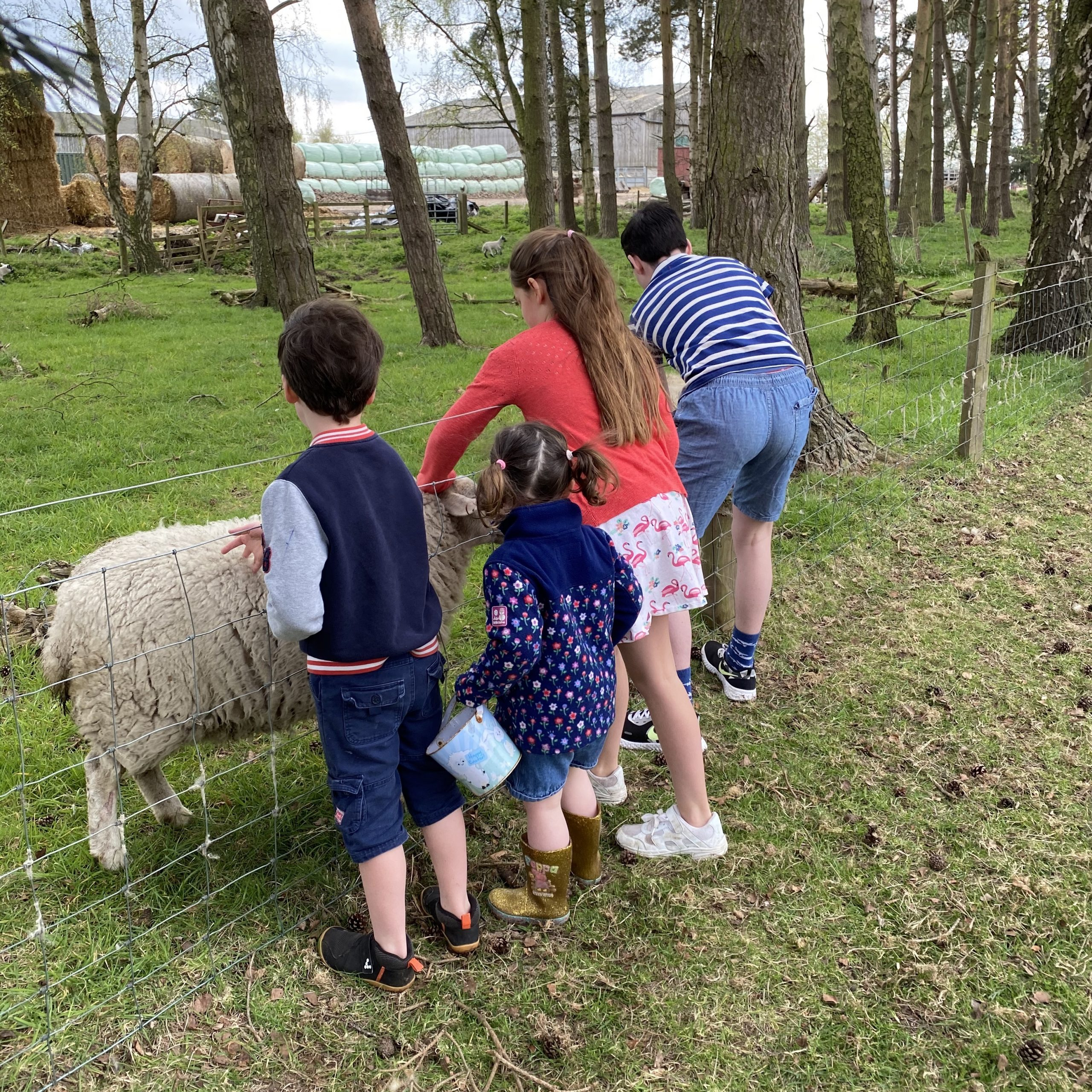 Easter lockdown with. family petting a sheep on a walk