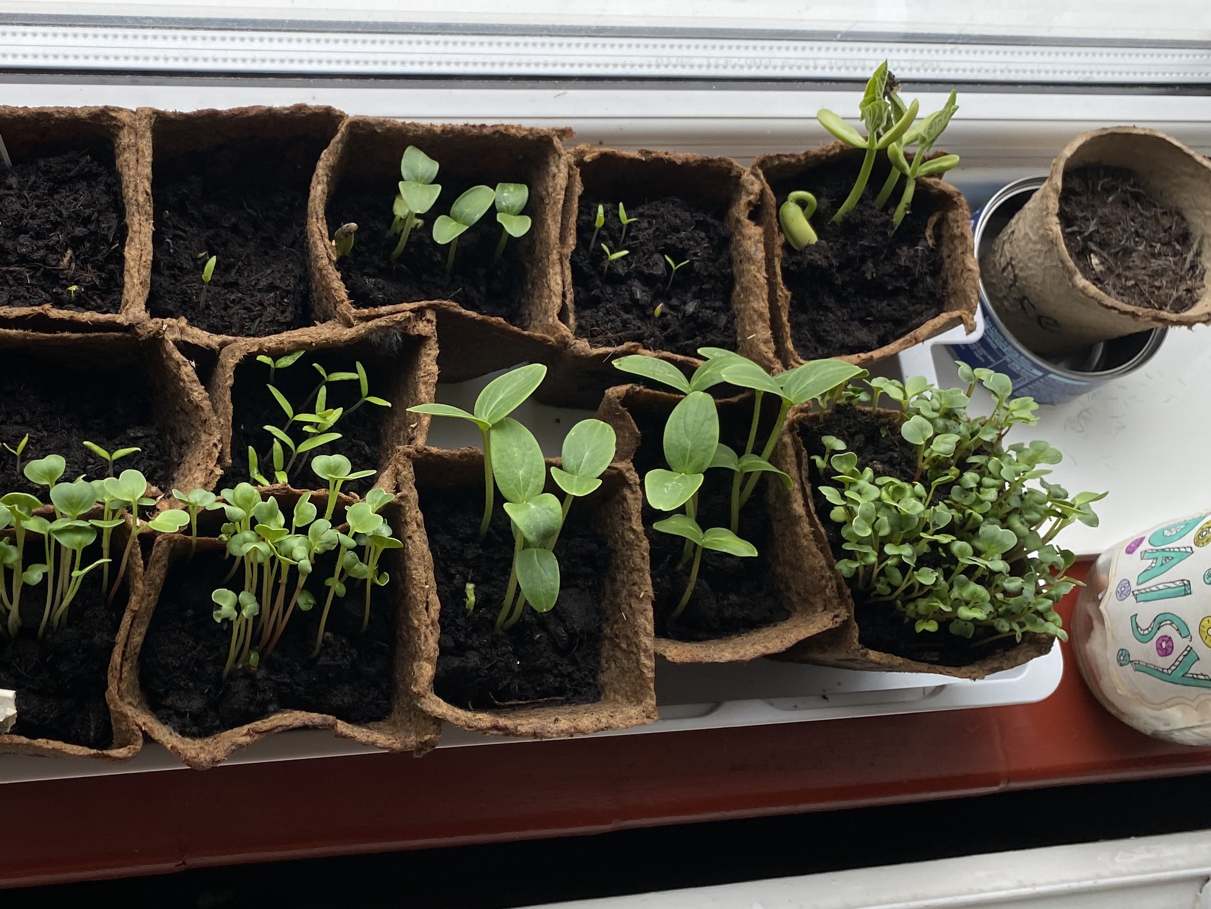 plants growing on the windowsill for us to grow our own food during lockdown