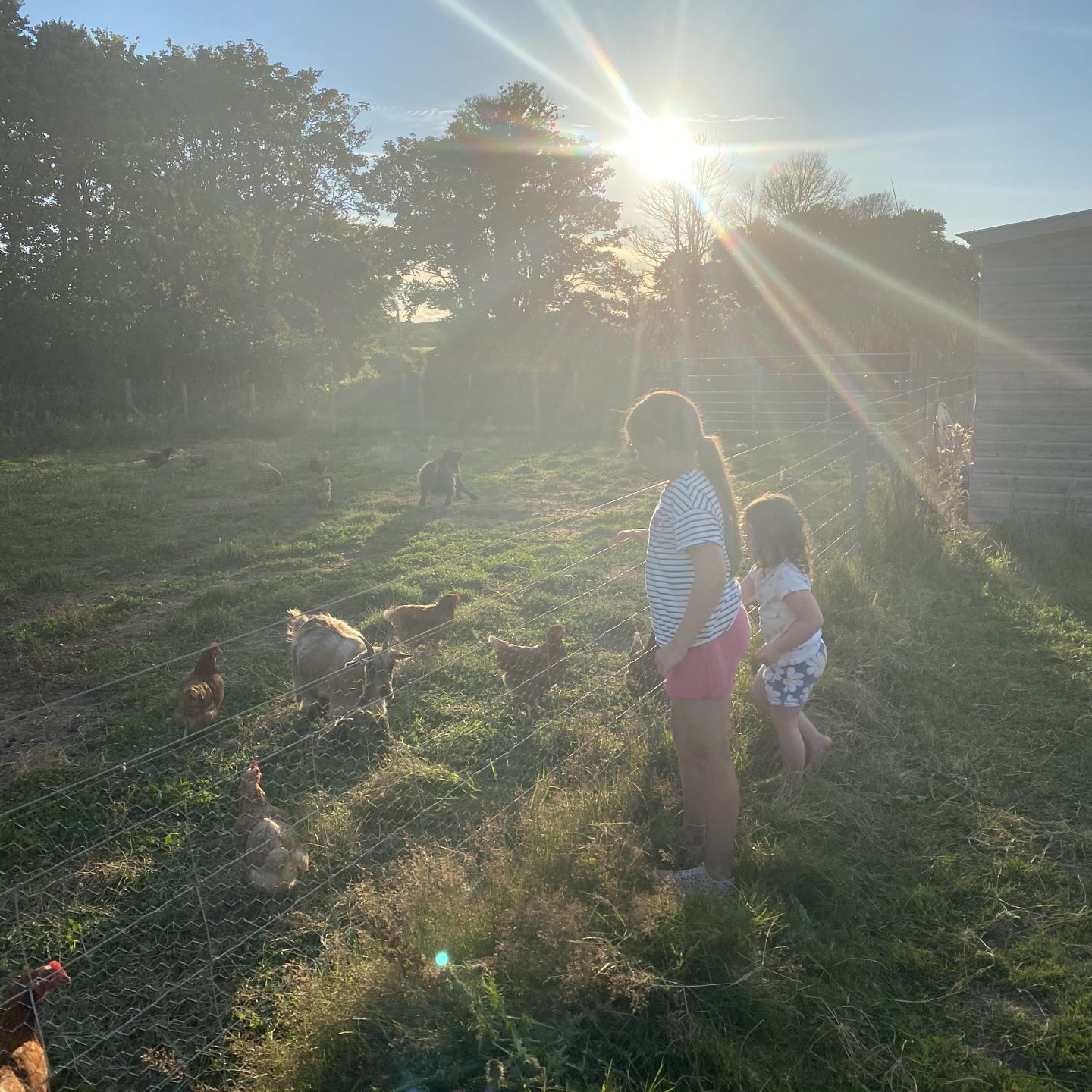 Trerise farm Campsite with 2 children looking at chickens in the sunset