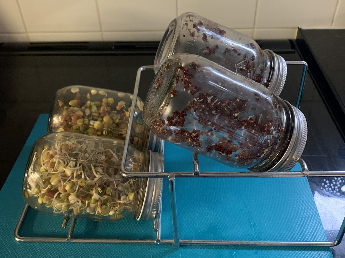 4 jars of sprouting seeds growing