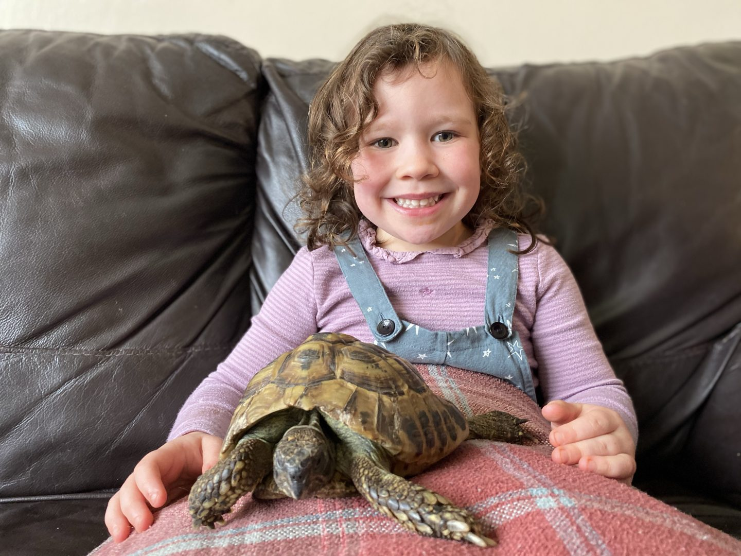 A tortoise sitting o a child's lap before he goes into hibernation