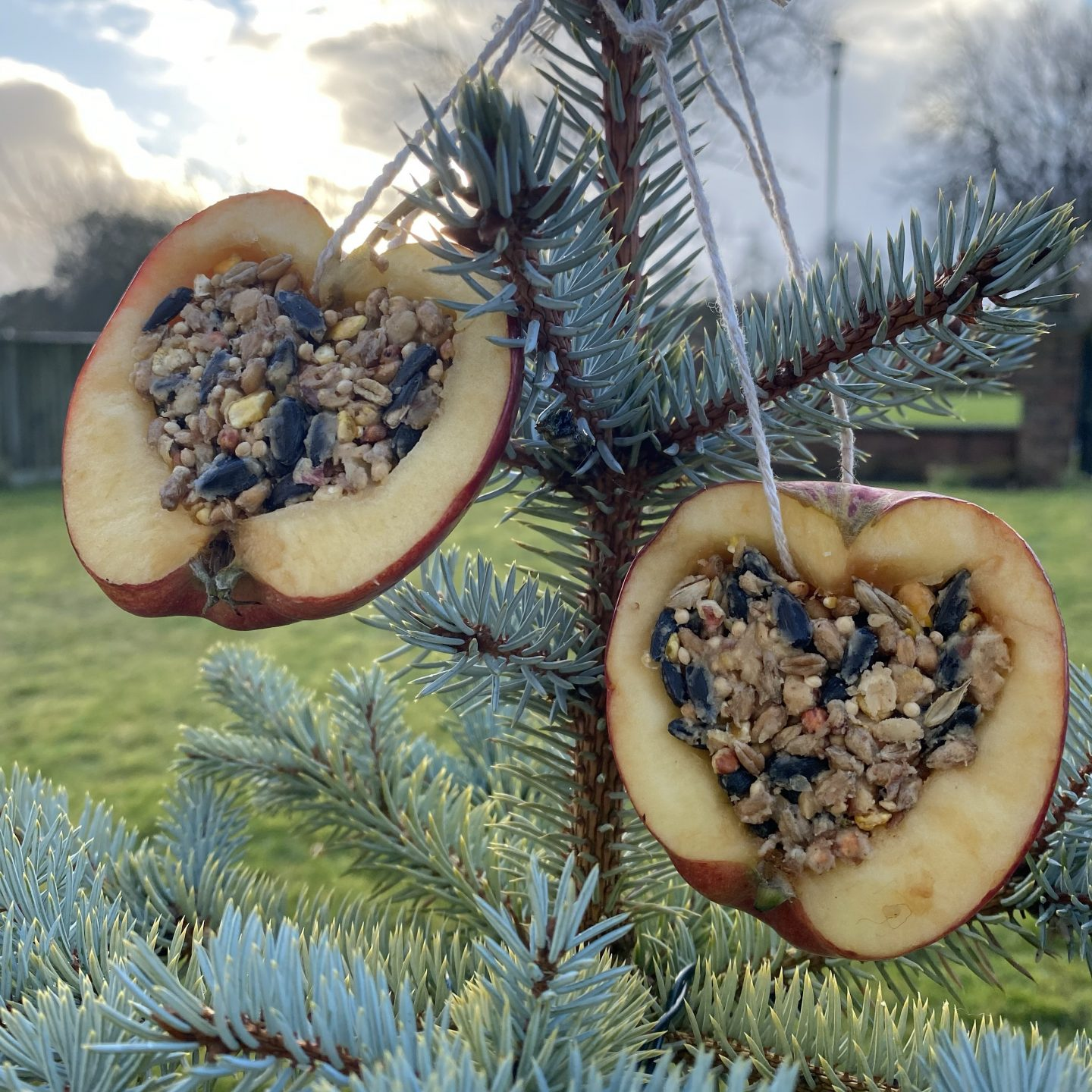 apple bird feeders hanging from a tree